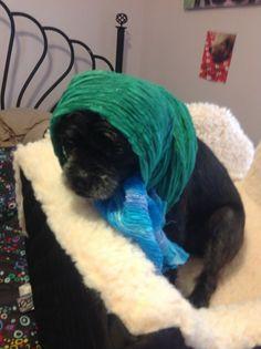 Pugapoo in a bonnet