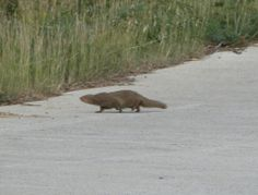 Small Indian Mongoose Crossing Road Virgin Islands National Park, Tropical Animals, Mongoose, Backdrops, National Parks, Indian, Backgrounds, Indian People, State Parks