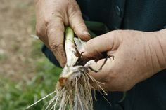 An Egyptian walking onion, which grow all winter and multiply. Farmer, Egyptian, Onion, Walking, Hands, Winter, Nature, Winter Time, Walks