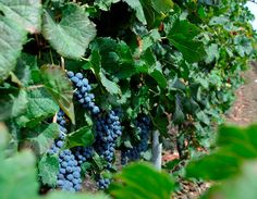 Nero d'Avola #harvest2013 #westsicilywine via Roberta Zaccarini Fazio #winelover
