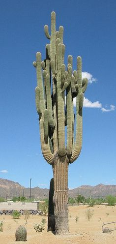 Giant Giant Saguaro. This one is very old. #saguarocactusflower