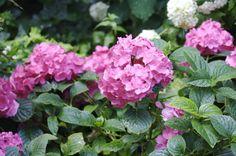 pretty pink hydrangeas