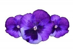 Purple pansy flowers border, floral decorative design made of fresh spring plant, isolated over white background, beautiful natural flower Stock Photo - 13284894
