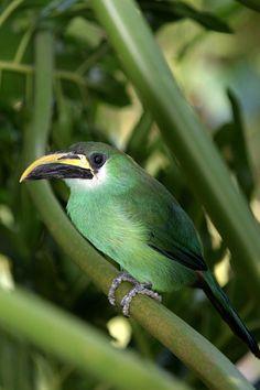 Tucaninho-de-nariz-amarelo (Aulacorhynchus atrogularis)