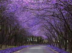 Purple flowering trees that must be photo-shopped but still breath-taking. Purple Trees, Purple Rain, Purple Home, All Things Purple, Flowering Trees, Blooming Trees, Paths, Beautiful Places, Simply Beautiful