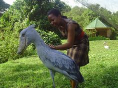 Shoebill Stork in Uganda. It gives you an ideal of the size of this bird.
