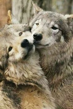 """""""Save me. He's a wolf""""."""