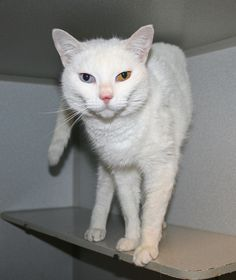 Snowie has been adopted!!! Snowie is a beautiful girl with one blue eye and one gold eye. Her family moved away and left Snowie behind! Didn't even bother trying to find her a new home. Thankfully one of our dedicated volunteers saw her wandering around, and took her in until space was available at Good Mews. Snowie is chatty and loves human companionship and will purr with happiness when you pet her. She would love to spend her day napping in someone's lap. Snowie is front declawed.