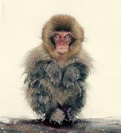 Anton Chekalin: Japan Nagano Snow Monkey - sweet, cute