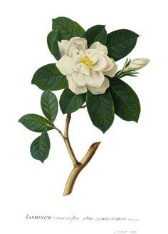 Gardenia augusta (cape jasmine), Georg Dionysius Ehret, 1760  http://www.florilegia.info/kew-diamond-jubilee-collection.php