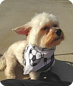 #CA  Casey is a gorgeous 1 1/2 yr old Yorkie/ Maltese. He's a happy, energetic playful little boy that's also very smart. Casey is house trained and plays well with his foster siblings. He weighs only 12 lbs but has a big bright personality, and will light up a room with his smile! He's affectionate without being clingy and loves to play with his toys or race around the yard to entertain himself.