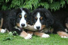 Lovely Berner Sennen brothers!