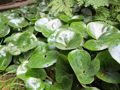 Generous Gardeners: Plant Library Entry for Asarum europaeum /Ginger, European Wild Ginger, European Ginger. Get detailed information about this plant here.