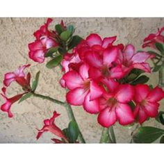 The Desert Rose Bonsai is only $29.99! They flourish indoors AND outdoors. They're highly popular for their bright vivid blossoms.