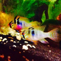 German Blue ram. Male and female pair