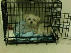 White morkie milo chilling in his cage