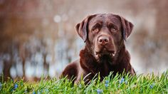 Dog training techniques that will help you train your Labrador