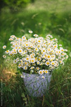 Freshly picked chamomile in bucket by Pixel Stories - Stocksy United Flowers Nature, My Flower, White Flowers, Flower Power, Beautiful Flowers, Beautiful Pictures, Sunflowers And Daisies, Wildflowers, Daisy Love