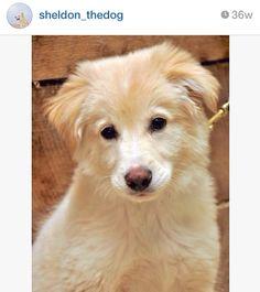 Border collie/ golden retriever mix puppy