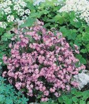 """Rose Forget-Me-Not - Part shade plant. Blooms April-May in pink and white. 6-12"""" in height."""