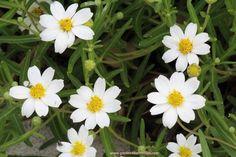 Blackfoot Daisy - Melampodium leucanthum - 20 seeds ~ Attracts Butterflies ~ Honey Scented Blooms - Drought Tolerant by Garden4Butterflies on Etsy