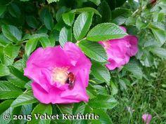 Rugosa Rose Rose, Flowers, Plants