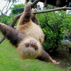 cute sloth 15 Adorable Sloths Here to Remind You to Slow Down and Enjoy Life Cute Sloth Pictures, Baby Animals Pictures, Cute Little Animals, Cute Funny Animals, Happy Animals, Animals And Pets, Strange Animals, Cute Baby Sloths, Cute Creatures
