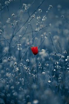 Lonely like a poppy flower in a wheat field 🌹🌾 Wonderful Flowers, Beautiful Flowers, Jolie Photo, Flowers Nature, Flower Wallpaper, Amazing Nature, Beautiful Images, Poppies, Nature Photography