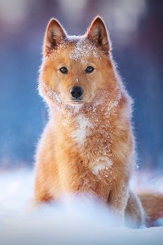 Generally, the spitz breeds are most recognizable for being very wolf-like in appearance. In fact, recent DNA testing has shown that spitz dogs have a stronger genetic tie to wolves than found in other breeds. Spitz Dog Breeds, Spitz Dogs, Animals And Pets, Baby Animals, Funny Animals, Cute Animals, Cute Puppies, Cute Dogs, Dogs And Puppies