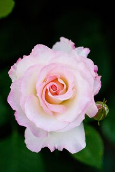 'Matilda'   Floribunda Rose. Meilland International (France, 1988)   Flickr - © Yoko Nekonomania