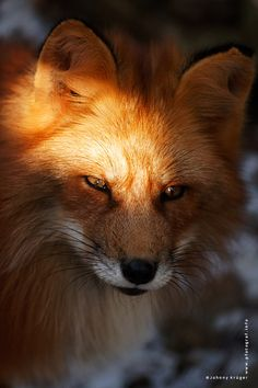 and people wonder why foxes are considered crafty... just look at that face!!