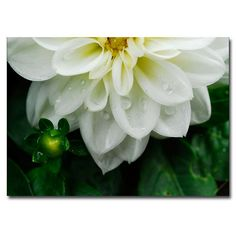 Trademark Art 'White Dahlia' by Kurt Shaffer Framed Photographic Print on Wrapped Canvas Size: Canvas Wall Art, Canvas Prints, White Dahlias, Artist Canvas, Canvas Size, Baby Shop, Wrapped Canvas, Floral Design, Art Floral