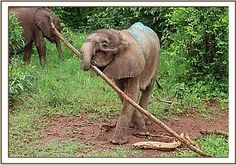 Ngilai playing with a stick