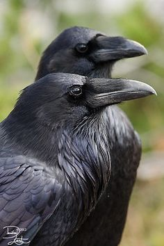 crows ravens rooks   magicalnaturetour: Raven duo by ~DeeOtter:)   Crows, Ravens, Roo...