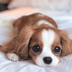 Kittens and puppies make the cutest animal photos. That's why baby animals are the favorite subjects for the photographer. Cute Little Puppies, Cute Dogs And Puppies, Baby Dogs, Pet Dogs, Doggies, Bulldog Puppies, Cute Babies, Beagle Pups, Samoyed Dogs