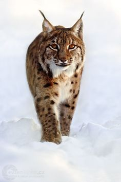 Wondrous Canadian Lynx:                                                                                                                                                                                 More