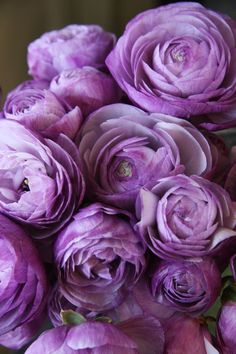 Ranunculus/is a category of flowering plants in the family Ranunculaceae. The petals are typically very lustrous, particularly in yellow types, owing to a unique coloration mechanism: the flower's top surface is smooth triggering a mirror-like reflection. My Flower, Purple Flowers, Beautiful Flowers, Fresh Flowers, Ranunculus Flowers, Purple Peonies, Cactus Flower, Exotic Flowers, Yellow Roses