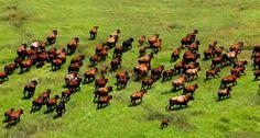 Cleanskin Cattle 'Manangoora'