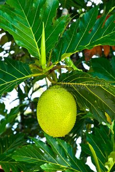 Closeup of breadfruit on the tree at the Pachira Lodge, Tortuguero National Park, Costa Rica, Central America.