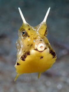 longhorn cowfish photos cow fish pictures images