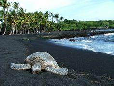 Sea Turtle on a black sand beach on the big island of Hawaii.   