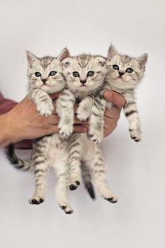 Kociaczki-trojaczki!