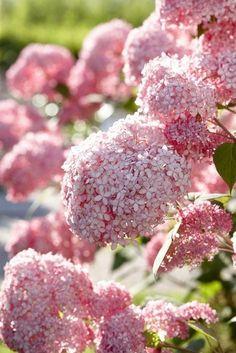 hydrangea annabelle pink - Google-søgning