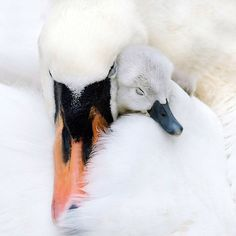 Swans make me nervous, but this is adorable.