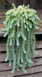 Donkey Tail lovely