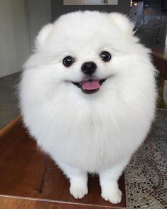 Pomeranian Ang Pang