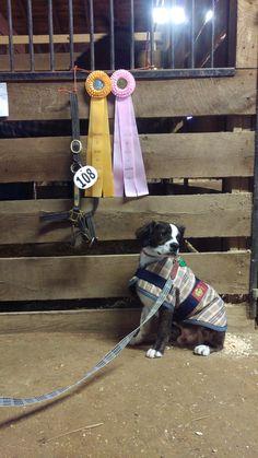 #wilcothedog at #dressageatdevon!  #bakerdog #bakerblanket #barndog #horseshowdog #dogsatdevon