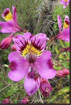 Atacama Desert Flowers - photo gallery of endemic flora of north Chile Unusual Flowers, Rare Flowers, Purple Flowers, Beautiful Flowers, Desert Flowers, Passion Flower, Cactus Y Suculentas, Fauna, Flower Photos