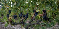 Grape harvest in Pro