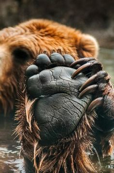 Little Red and One of the Three Bears My what big nails you have. My what big The post Little Red and One of the Three Bears My what big nails you have. My what big appeared first on Katzen. Nature Animals, Animals And Pets, Baby Animals, Funny Animals, Cute Animals, Baby Pandas, Wild Animals, Wildlife Photography, Animal Photography